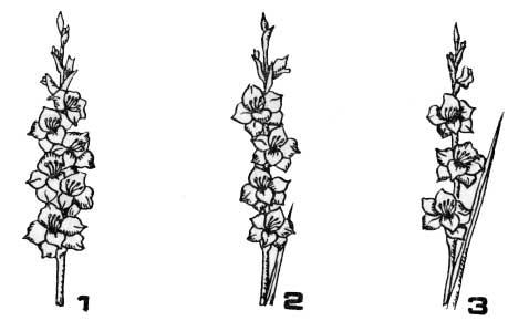 Характеристика колоса по густоте цветков в нем