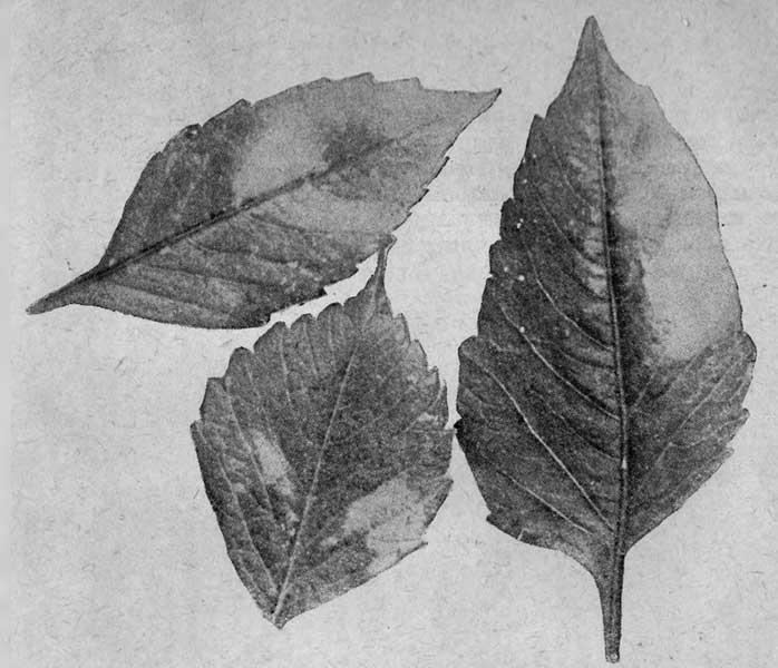 Листья георгины, поврежденной паутинным клещом