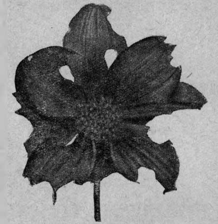 Цветок, подъеденный уховерткой