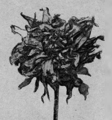 Цветок, сильно поврожденный трипсом