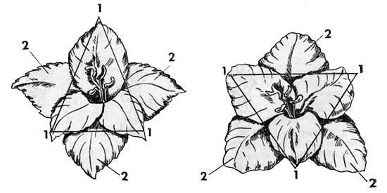 Форма цветка гладиолуса