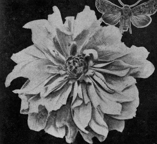 Капустная совка и поврежденный ее гусеницами цветок