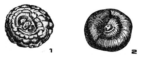 Клубнелуковица гладиолуса
