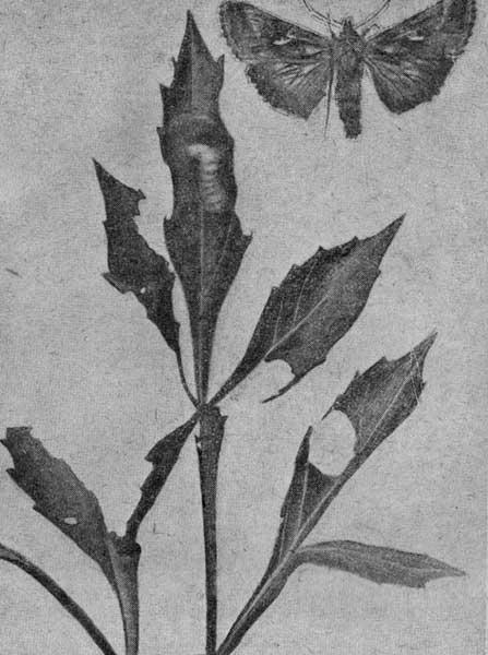 Гусеница совки-гаммы под паутинкой на поврежденном листе. Взрослая бабочка