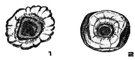 Определение качества клубнелуковиц по диаметру донца