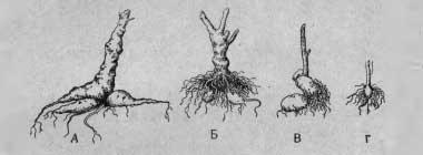 Результаты черенкования георгин в июне
