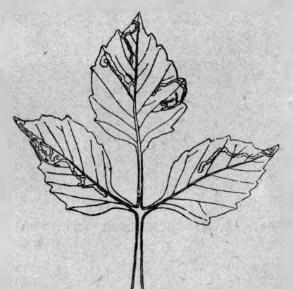 Лист, минированный личинкой мухи