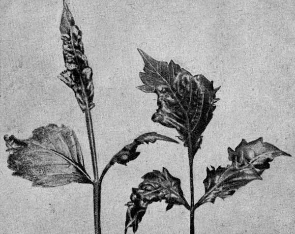 Повреждения (вздутия) листьев, причиненные листовым клопом