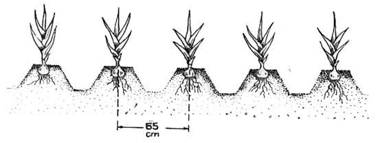 На участках с высоким стоянием грунтовых вод гладиолусы высаживают на гребнях борозд