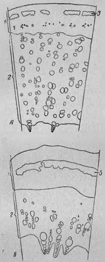 Схема строения междоузлия стебля грубостебельной формы корейского подвида