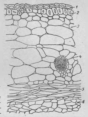 Поперечный разрез стенки боба тонкостебельной формы китайского подвида