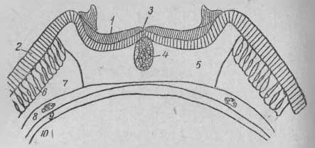 Поперечный срез рубчика семени формы китайского подвида