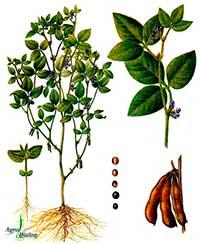 как выглядит соя растение фото