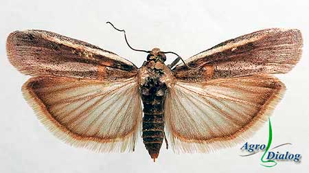 Бабочка акациевой огневки (Etiella zinckenella Тг.)