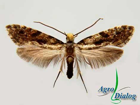 Бабочка амбарной моли (Tinea granella L.)