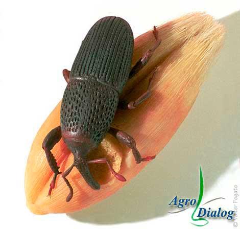 Амбарный долгоносик (Calandra granaria L.)