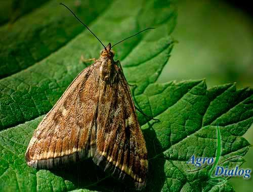 Луговой мотылек (Loxosteqe sticticalis L.)