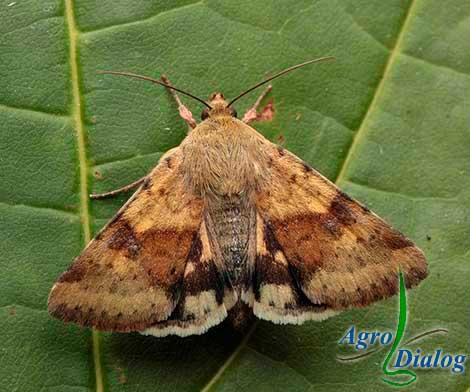 Люцерновая совка (Chloridea dipsacea L.)