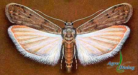 Мельничная огневка (Ephestia kuchniella Zeller.)