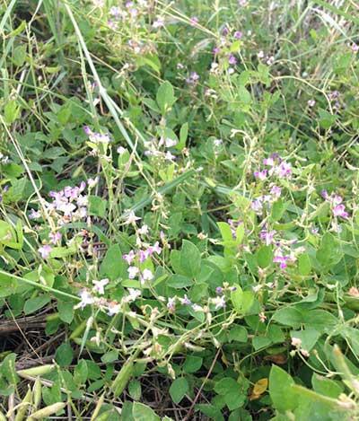 Glycine latifolia (Benth.) Newell et Hymowitz.
