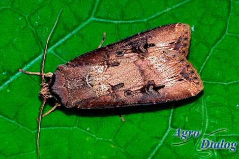 Совка ипсилон (Rhyacia (Agrotis) ipsilon Rott.)