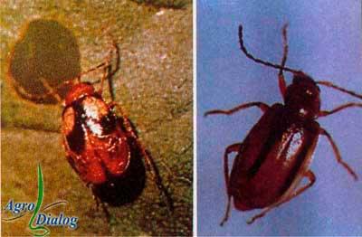 Соевая чернополосая блошка (Paraluperodes suturalis nigrobilineatus Motsch.)