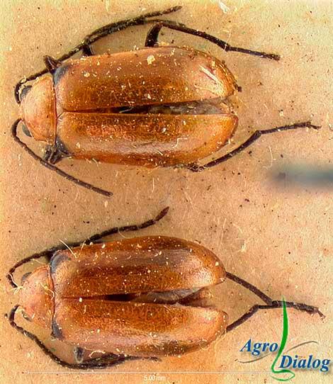 Соевый листоед (Luperodes menotriesi Fald.)