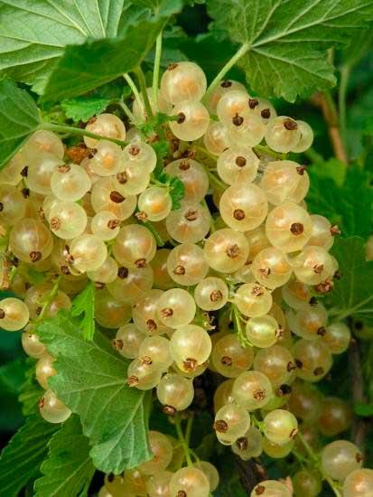 Сорт Белый виноград