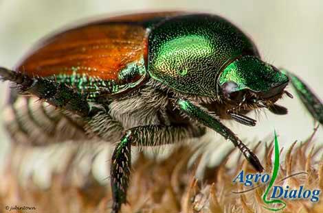 Японский жук (Роhillіа japonica New.)