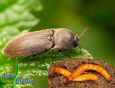 Проволочники – личинки различных видов жуков-щелкунов