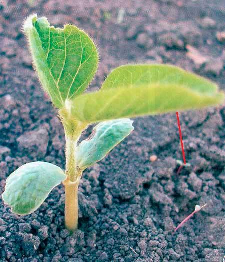 Примордиальные листья сои