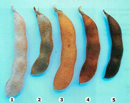 Окраска бобов сои