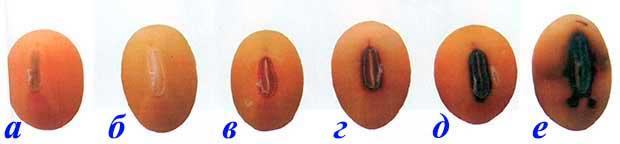 Окраска семенного рубчика сои