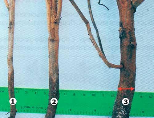 Толщина стебля сои