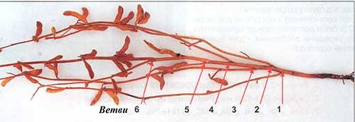 Количество ветвей на главном стебле сои