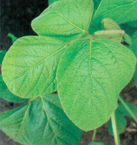 Сложный, тройчатый листок сои