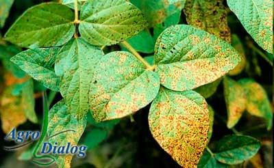 Ржавая пятнистость листьев, или септориоз сои