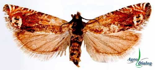 Соевая плодожорка (Eucosma glycinivorella Motsch.)