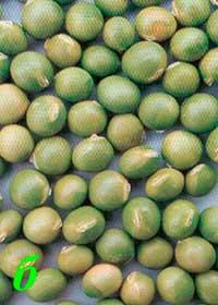 Окраска оболочки семян сои: б – зеленая