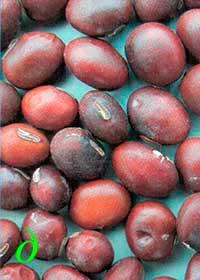 Окраска оболочки семян сои: д – темно-коричневая