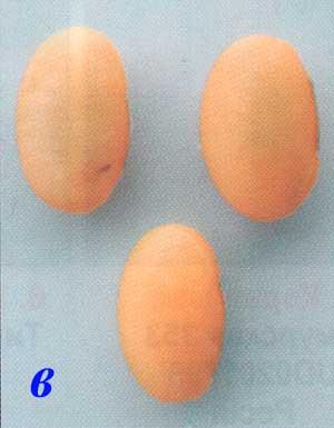 Форма семян сои: в – овально-продолговатая