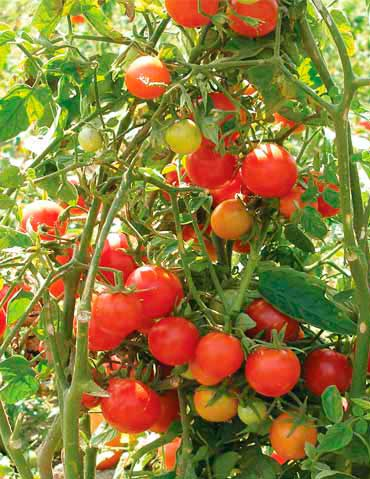 Сорт томата Флорида петит