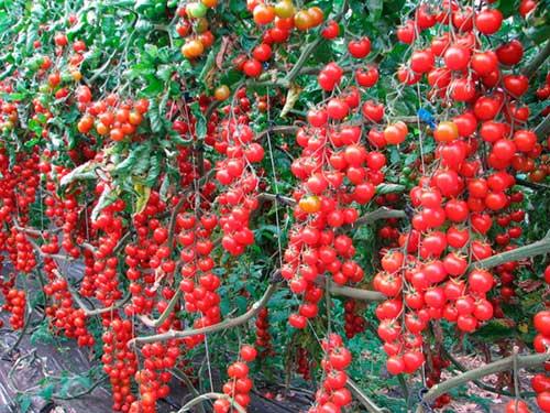 Сорт томата Черри