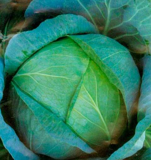 Рис. 1. Сорт капусты белокочанной Белоснежка