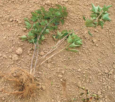 Саженец с хорошо развитой корневой системой