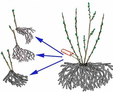 Деление кустов смородины