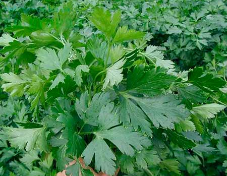 Сорт петрушка с обычными листьями