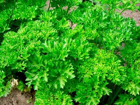 Сорт петрушка с кудрявыми листьями