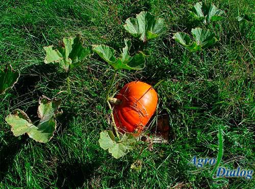 Тыква твердокорая (Cucurbita pepo L.)
