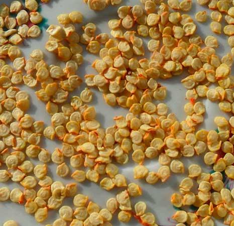 Отбор семян из перца горького